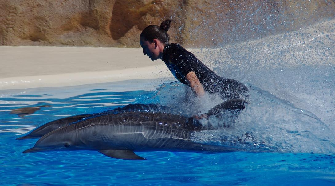 A dolphin trainer rides dolphins as a trick performed at an aquarium